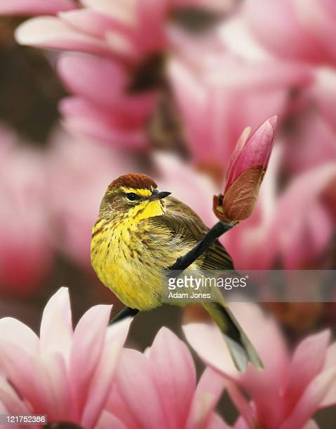 Palm Warbler, Dendroica palmarum, male in magnolia tree, USA