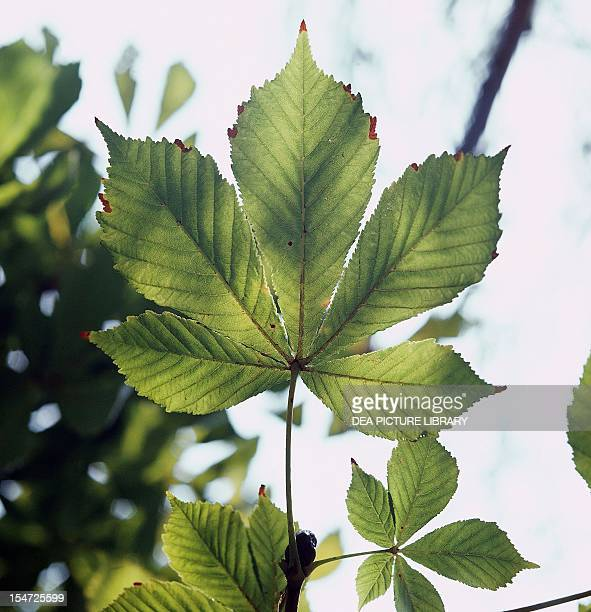 Palmately compound leaves of Horsechestnut or Conker tree Sapindaceae