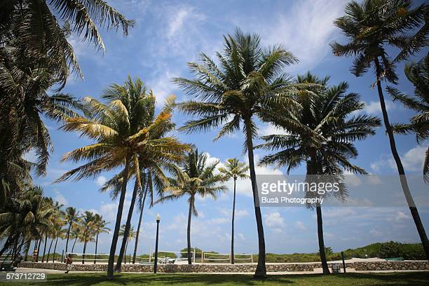 Palms along Ocean Drive, Miami Beach
