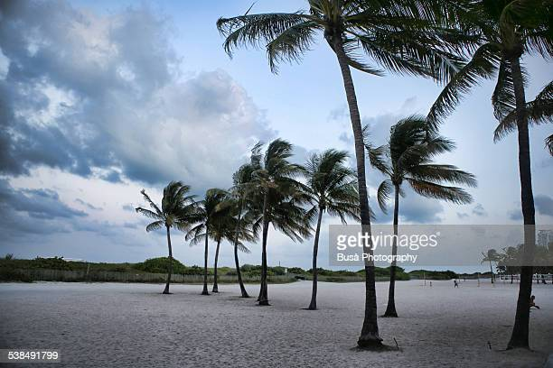 Palms along the beach, Miami Beach