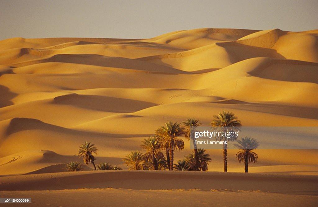 Palms in Sahara Desert