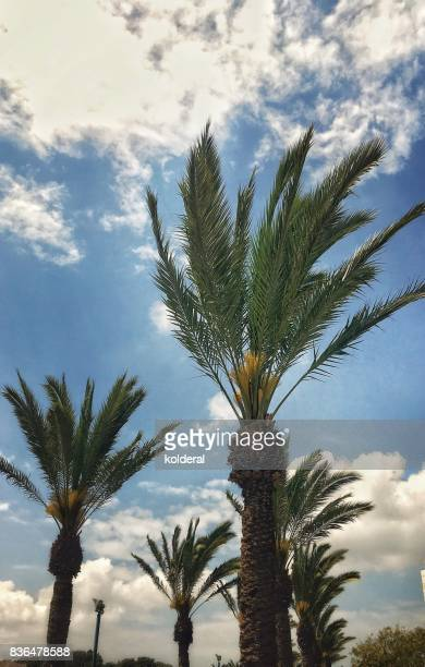 Palms trees in Windy weather