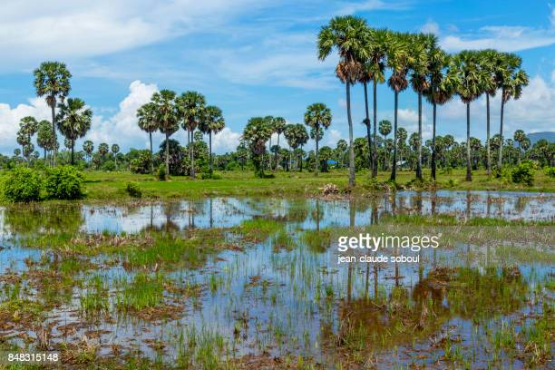 Palms trees on the rice field, in Kampot, Cambodia