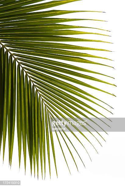 Palmtree leaf isolated
