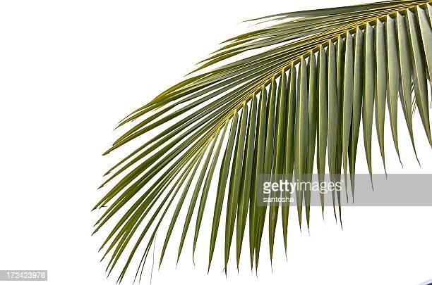 Palmtree Leaf