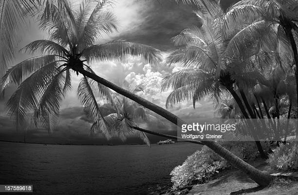 palmtrees and cloudscape in infrared