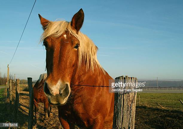 Palomino horse, head over fence, looking at camera