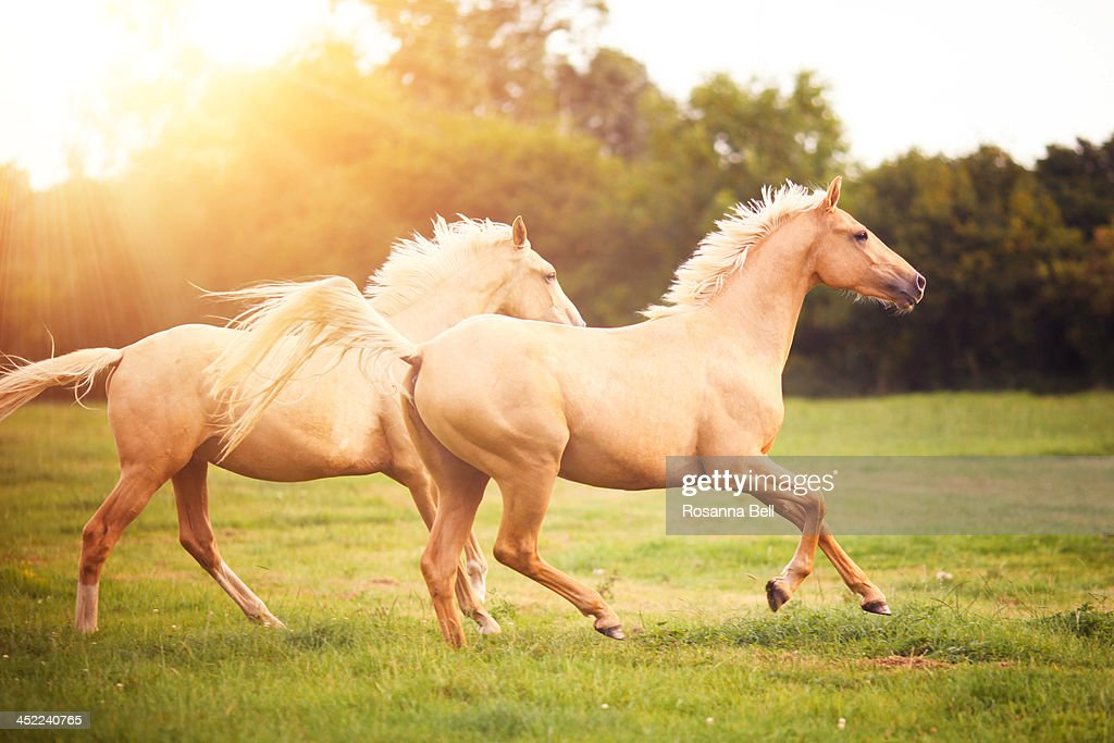 Palomino horses cantering in field : Stock Photo