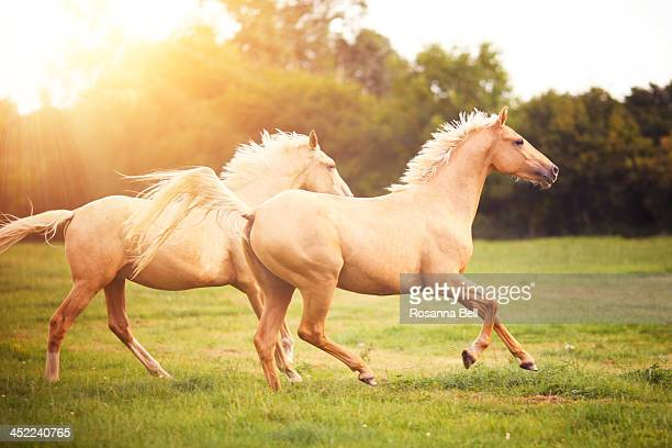 Palomino horses cantering in field