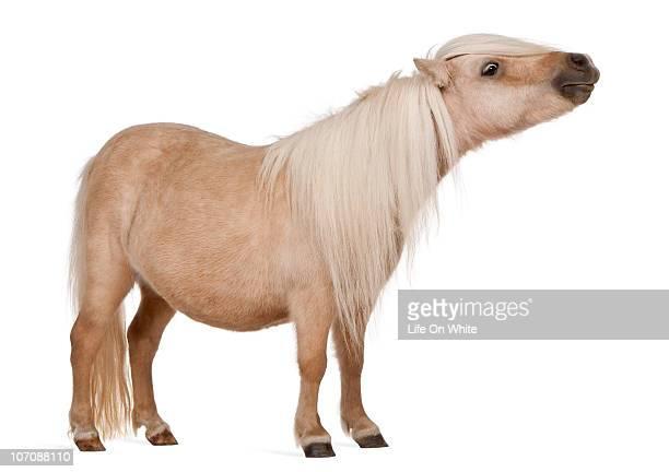 Palomino Shetland pony - Equus caballus