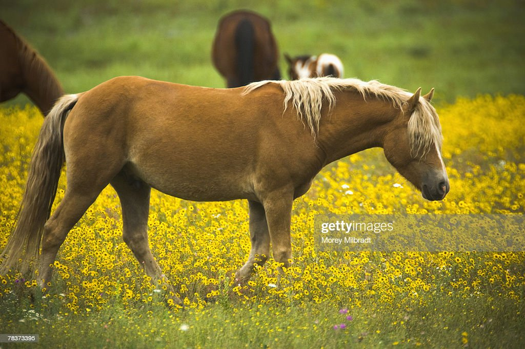Palomino walking through wildflowers : Stock Photo