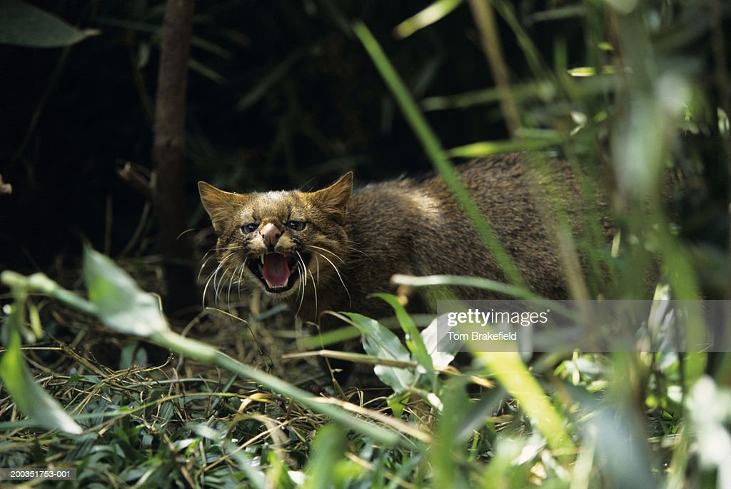 Pampas cat (Felis colocolo), Central or South America : Stock Photo