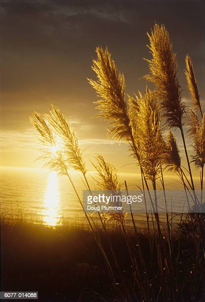 Pampas Grass by Ocean