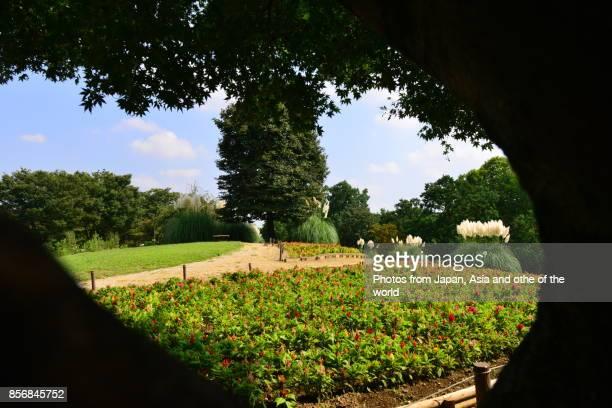 Pampas Grass / Cortaderia selloana