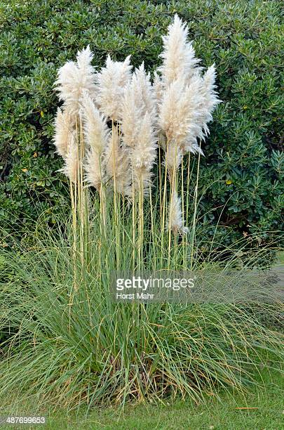 Pampas Grass -Cortaderia sp.-, Canton of Tessin, Switzerland