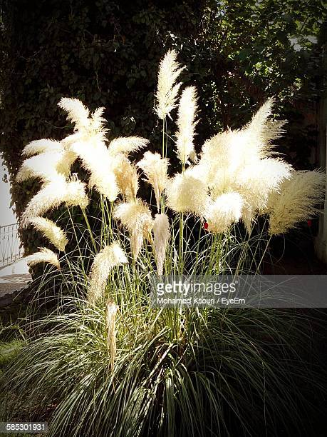 Pampas Grass Growing At Field
