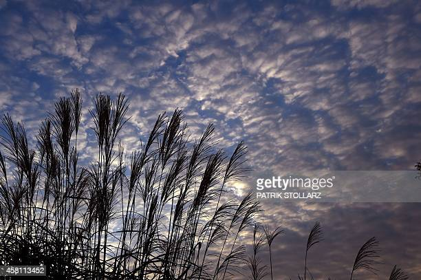 Pampas grass is pictured in front of a cloudy sky in Bottrop western Germany on October 30 2014 AFP PHOTO / PATRIK STOLLARZ