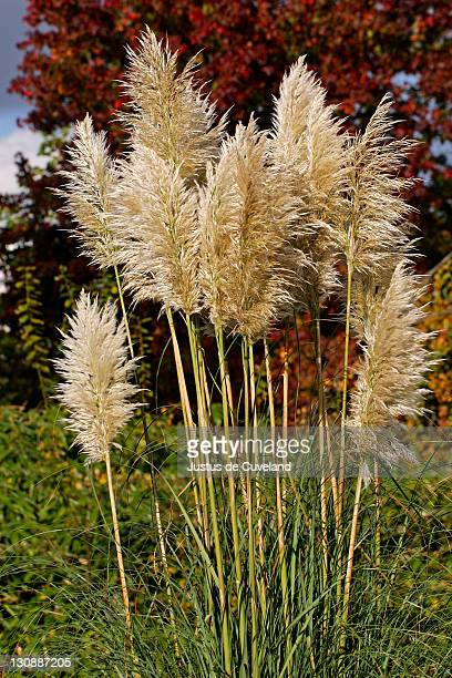 Pampas grass (Cortaderia selloana)