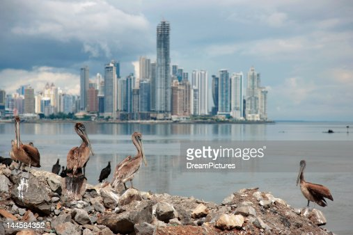 Panama, Panama City, Pelicans on coastline, skyline in background
