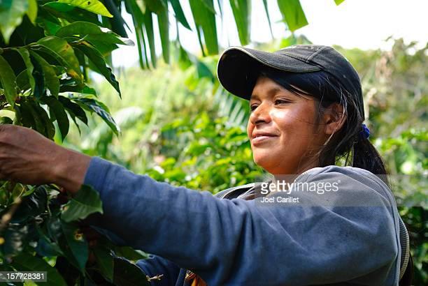 Panamanian woman harvesting coffee crop