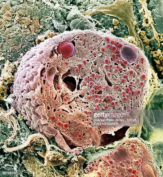 Pancreas cell