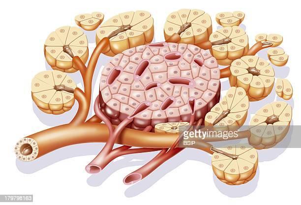 Pancreas Drawing