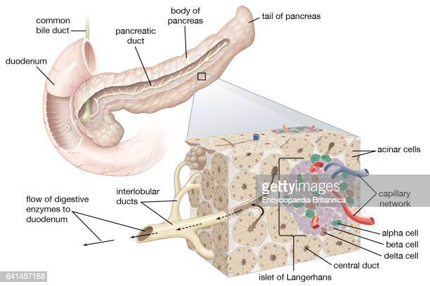 Human Pancreas Stock Photos and Pictures | Getty Images