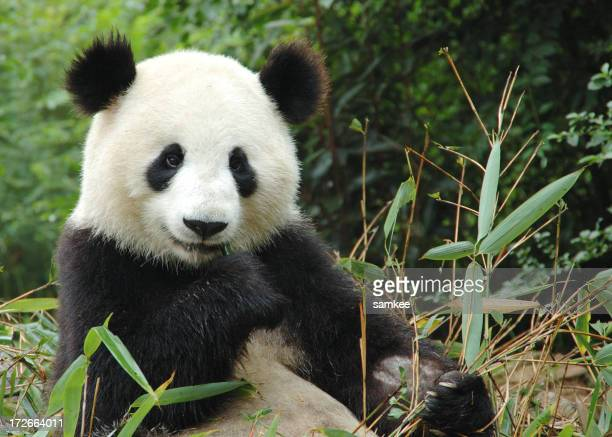 Panda bear eating leaves in China