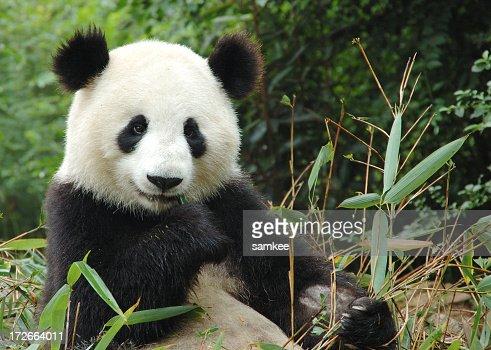 'Panda, china'