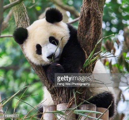 Panda cub resting on tree