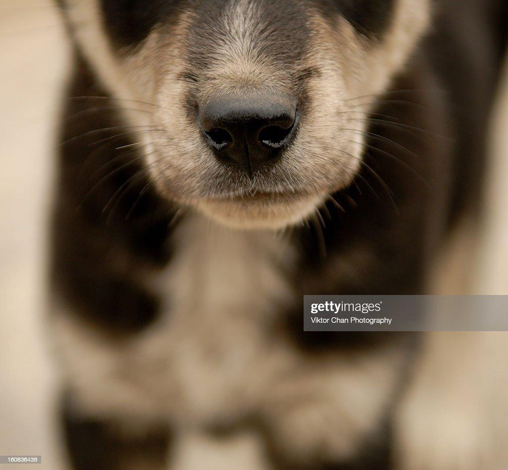 Panda dog : Stock Photo