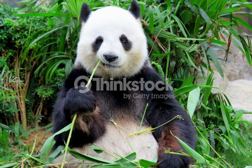 pandas essen bambus stock foto thinkstock. Black Bedroom Furniture Sets. Home Design Ideas