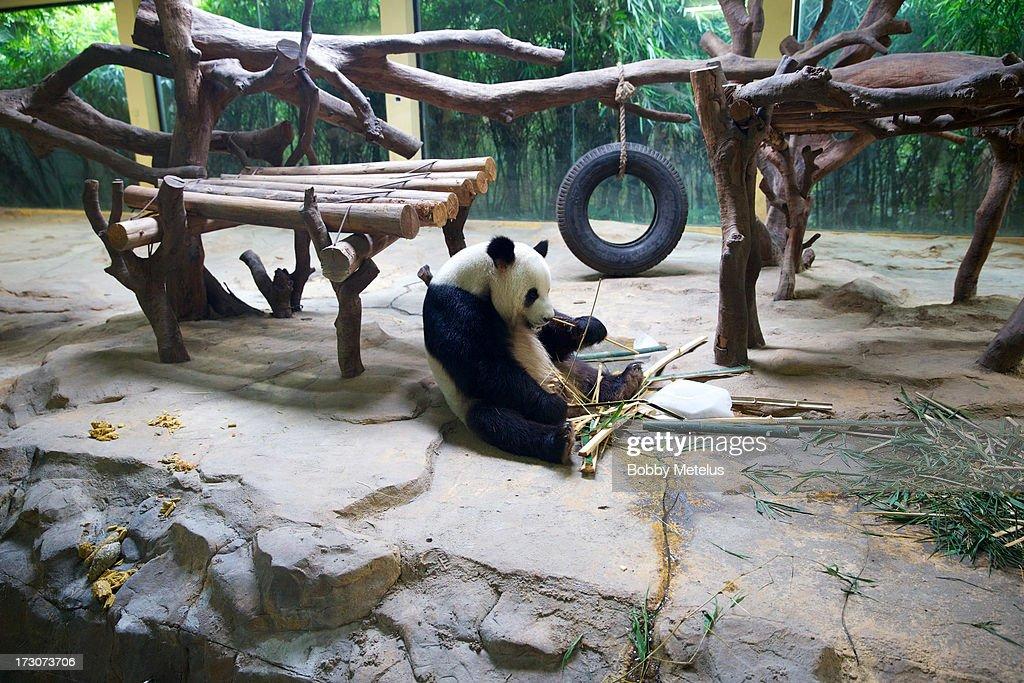 A panda eats bamboo at Chimelong Safari Park on July 6, 2013 in Guangzhou, China.