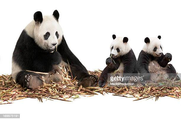 Panda family eating bamboo shoots