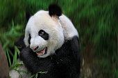 Panda feeding