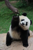 Happy,Cute and fluffy panda