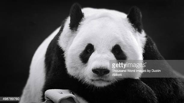 Panda in Repose