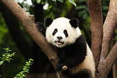 A giant panda sitting in a tree and staring at you.