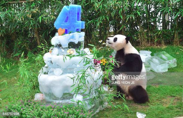 TOPSHOT Panda Le Bao plays with his ice cake during a birthday event for a pair of giant pandas at South Korea's Everland Amusement and Animal Park...