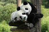 panda in  zoo