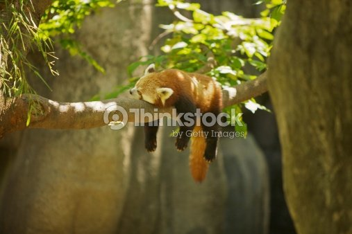 Panda : Stock Photo