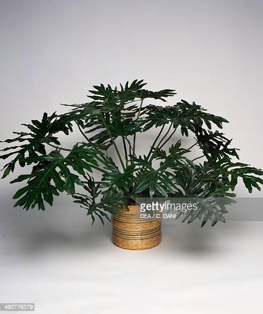 Panda plant or Fiddleleaf philodendron Araceae