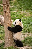 A panda standing against a tree