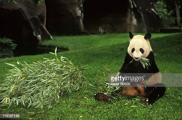 Panda Yen Yen Celebrates his 25th Birthday at ParisVincennes Zoological Park in Paris France in June 1997