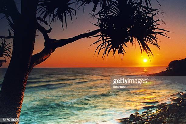 Pandanus tree at sunrise, Burleigh Heads, Australia