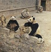 Pandas in their enclosure in Beijing Zoo, Beijing, China