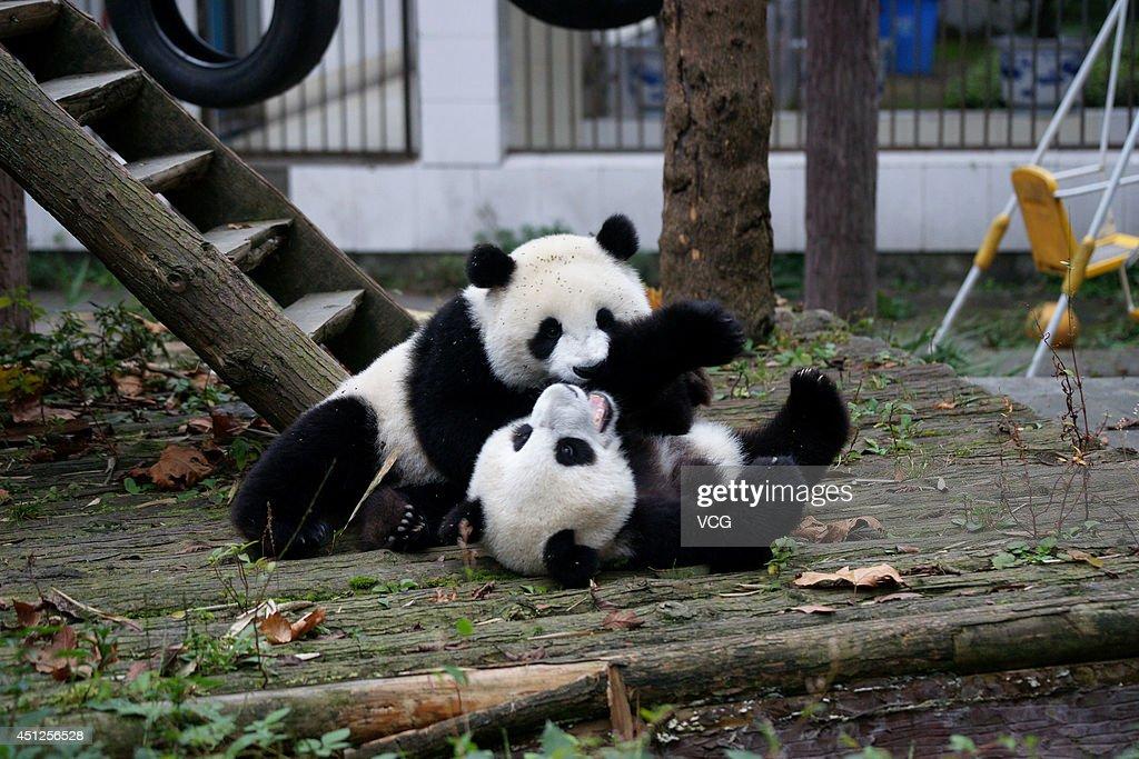 Pandas play at Bifengxia Panda Base on October 14, 2013 in Ya an, Sichuan Province of China.