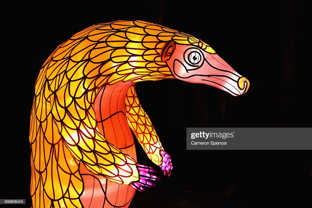 A pangolin light sculpture is displayed during a media preview of Vivid Sydney illuminated displays at Taronga Zoo on May 24, 2016 in Sydney, Australia. Vivid is lighting up at Taronga Zoo for the first time with ten giant animal sculptures representing critical species the zoo is committed to protecting. Held annually, Vivid Sydney is the world's largest festival of light, music and ideas running for 23 days.
