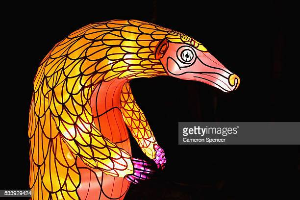A pangolin light sculpture is displayed during a media preview of Vivid Sydney illuminated displays at Taronga Zoo on May 24 2016 in Sydney Australia...