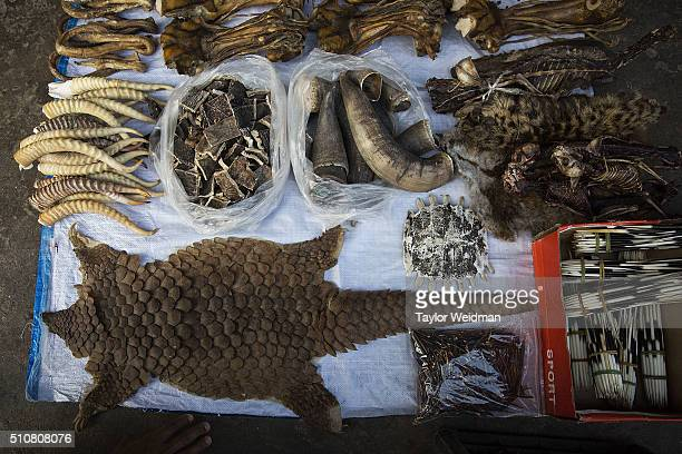 A pangolin skin is displayed amongst other exotic and illegal animal parts at a stall on February 17 2016 in Mong La Myanmar Mong La the capital of...